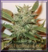 Skunk x Northern Lights x Kush feminised pick n mix seeds of cannabis